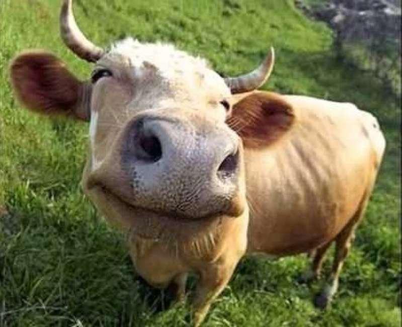 mucca-vacca-775494