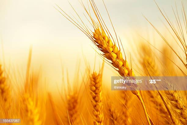 Golden wheat in a farm